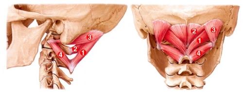 headache-upper-cervical-muscles